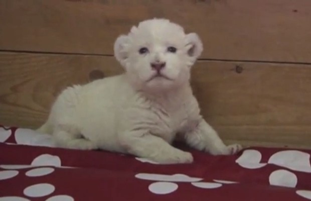 White Tiger Cub Tries To Roar